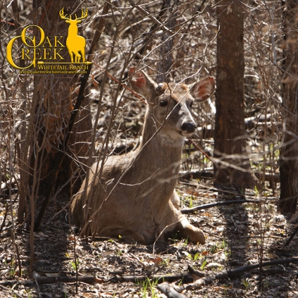 Young buck laying at the edge of a plot.