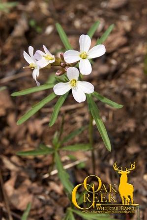 Cutleaf Toothwort (Cardamine concatenata)