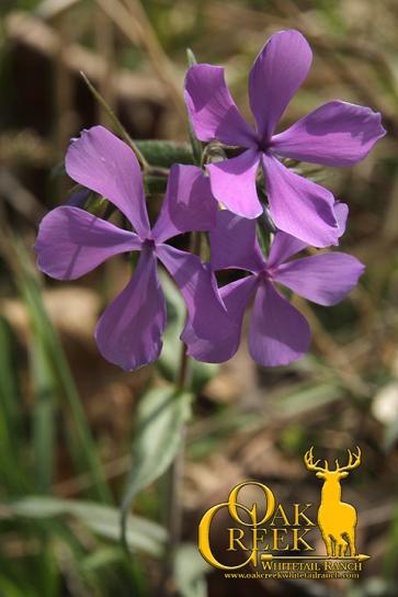 Sweet William (Phlox Divaricata)