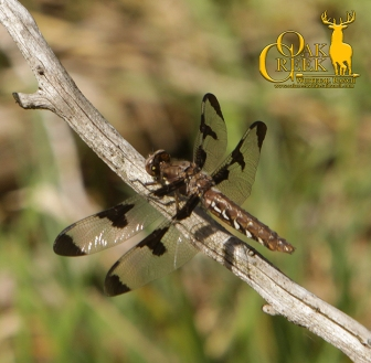 Common White-tailed Dragonfly
