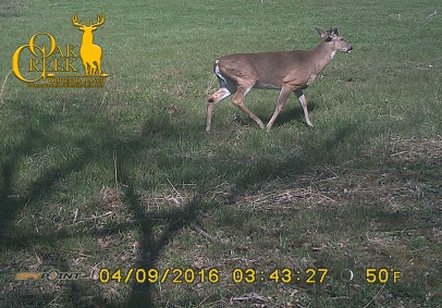 Young buck in the Vita Rack Clover