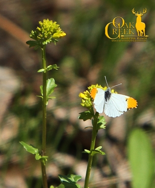 Yellow Rocket and Orange Tip butterfly