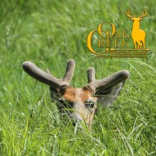 Oak Creek yearling buck