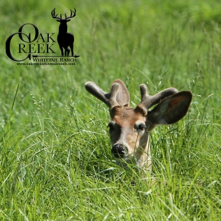 Oak Creek yearling buck