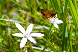 Star-of-Bethlehem and skipper