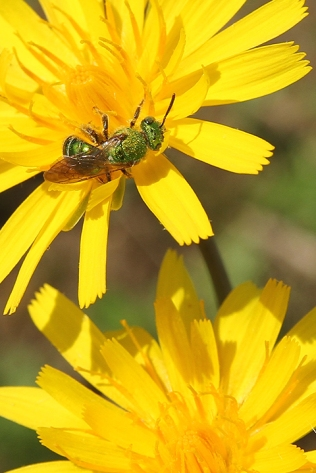 False Dandelion and emerald green sweat bee