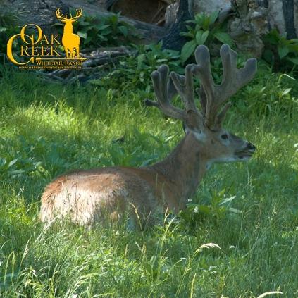 Big non-typical Oak Creek monster buck