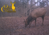 Young elk using the Hunters Specialties Vita Rack Lick Site.