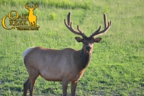 The bull elk are doing great this season. We are going to have some really happy hunters come early September.