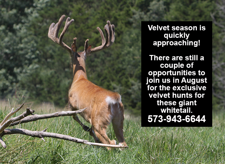 Whitetail in Velvet